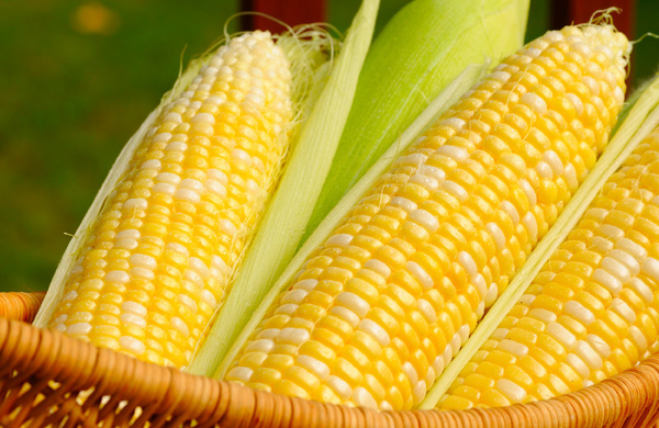 N.J. growers come close to 300-acre corn yields
