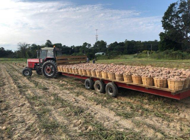 Delmarva well-rooted with sweet potatoes
