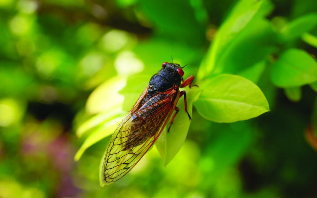 Horticulturists bracing for cicadas