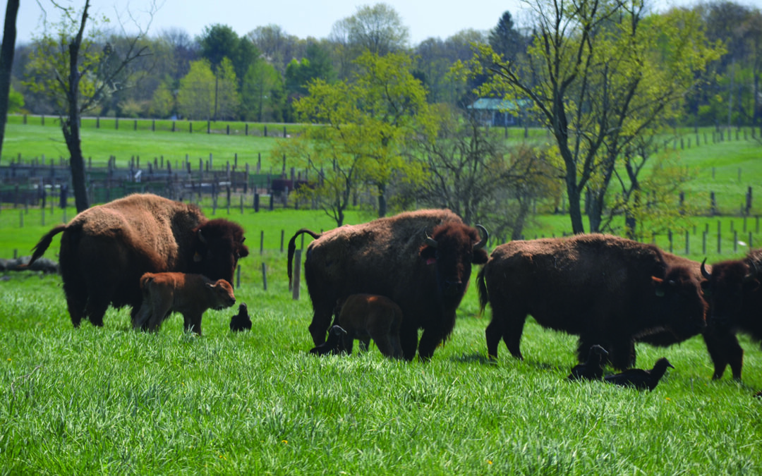 Readington is where the buffalo roam