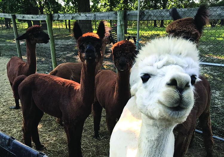 Family turns page with enjoyable alpaca run