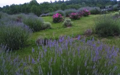 Beliveau Farm extends its reach with lavender