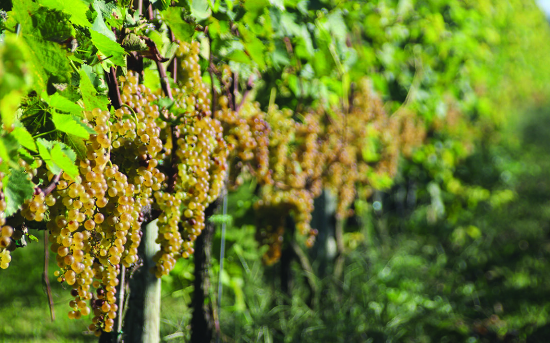 Demand growing for Maryland grapes